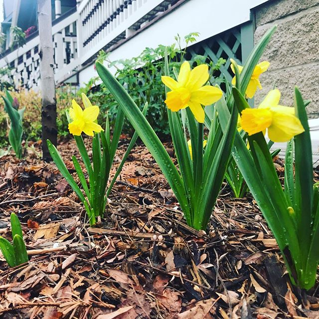 Oh hey little cuties! Spring in Minnesota is the best time! #stephaniesdish #spring #stpaul #daffodils #springflowers
